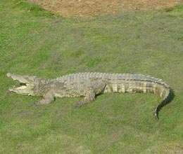 Fun Crocodile Facts for Kids  Interesting Information about