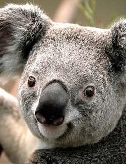 Fun Koala Facts for Kids - Interesting Information about Koalas