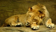 Amazing Lion Facts for Children
