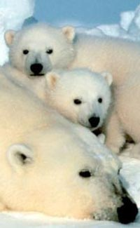 Fun Polar Bear Facts for Kids - Interesting Information about ...