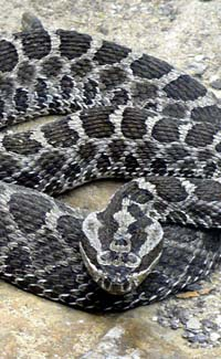 Venomous snake facts