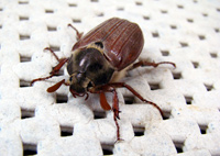 Fun Beetle Facts for Kids - Interesting Information about
