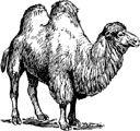 Interesting Information about Camels