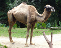 Fun Camel Facts for Kids - Interesting Information about Camels