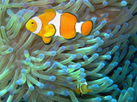 Fun Clownfish Facts for Kids - Interesting Information about Clownfish