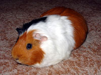 Fun Guinea Pig Facts for Kids - Interesting Information