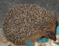 Fun Hedgehog Facts for Kids - Interesting Information about Hedgehogs