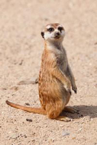 Fun Meerkat Facts for Kids - Interesting Information about Meerkats