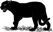 Interesting facts about Panthers