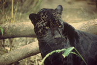 Fun Panther Facts for Kids - Interesting Information about Panthers