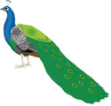 Interesting Information about Peacocks