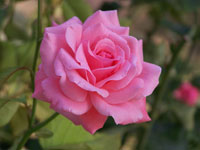 Fun Rose Facts for Kids - Interesting Information about Roses