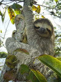 Fun Sloth Facts for Kids - Interesting Information about Sloths