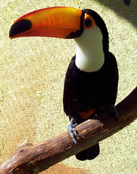 Fun Toucan Facts for Kids - Interesting Information about Toucans