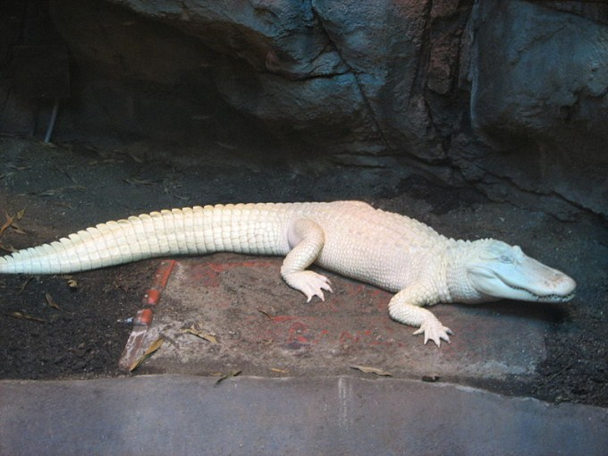 This photo shows a rare albino American alligator in captivity.