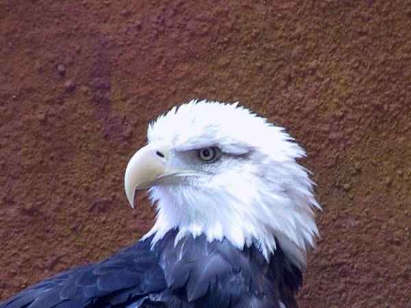 A close up photo of a bald eagle as it turns its head.