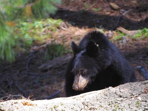 A large black bear walking through the woods.