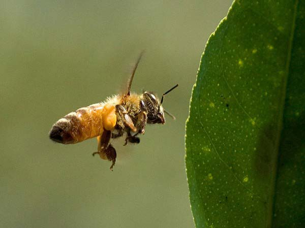 This close up photo shows a bee hovering expertly next to the leaf of a plant.