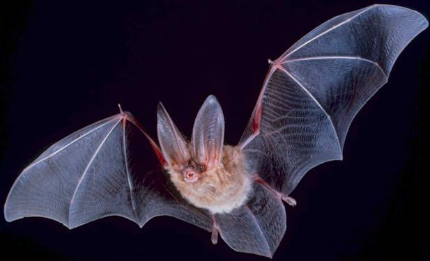 A close up photo of Townsend's Big Eared Bat as it flies through the air with wings outstretched.