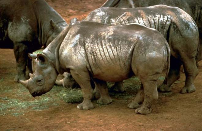 This photo shows a threatened species of rhinoceros known as the black rhinoceros. Despite the name their appearance is actually more grey/white than black. Four black rhinos can be seen enjoying the muddy ground.