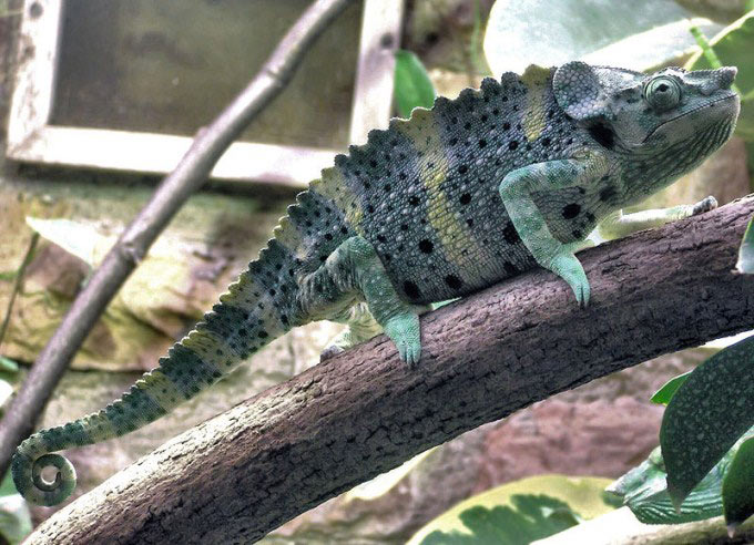 A side on photo of a chameleon with a spiral tail sitting on the branch of a tree. Some chameleons have the ability to change color.