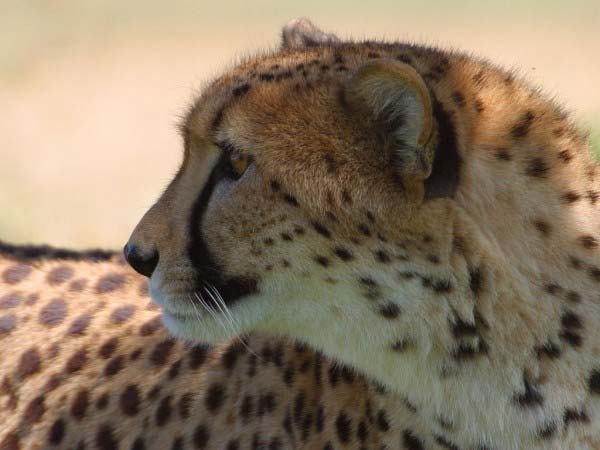 This photo shows a cheetah with an impressive spotted fur coat turning its head to look behind it.