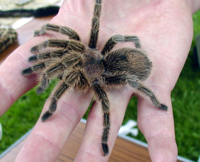This photo shows a close up view of a Chilean rose tarantula resting on the hand of someone brave. Also known as the the Chilean flame tarantula, it is likely the most common species of tarantula sold in pet stores due to the large numbers found in the wild in Chile.
