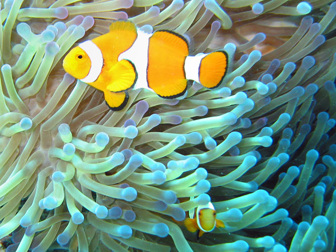 Two clownfish swim happily amongst sea anemone on the Great Barrier Reef off the east coast of Australia. Clownfish have a special relationship with sea anemone which includes protecting each other from predators.