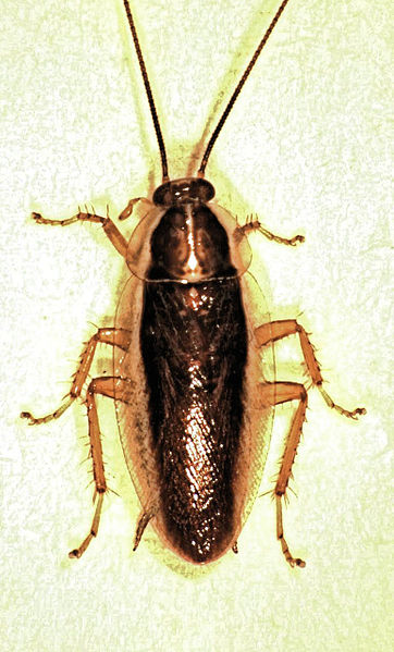 This photo gives a clear view of a cockroach, like other insects it has 6 legs, 2 antennae, a thorax, abdomen and head.
