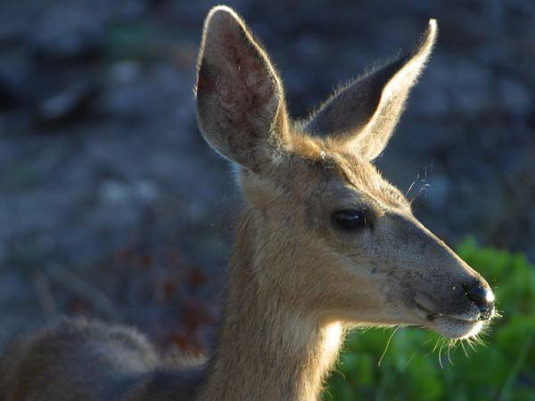 A photo showing the face of a deer including its big ears.