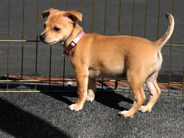 A photo of a cute looking small dog wearing a collar as it stands just in front of a fence.