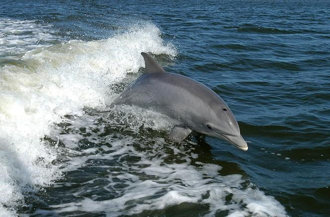 A great action photo of a bottlenose dolphin as it leaps out of the water in the wake behind a boat.