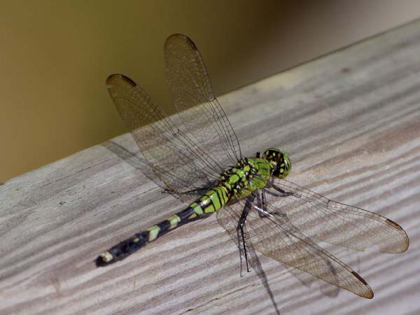 A close up photo of a dragonfly showing its beautiful but fragile wings.
