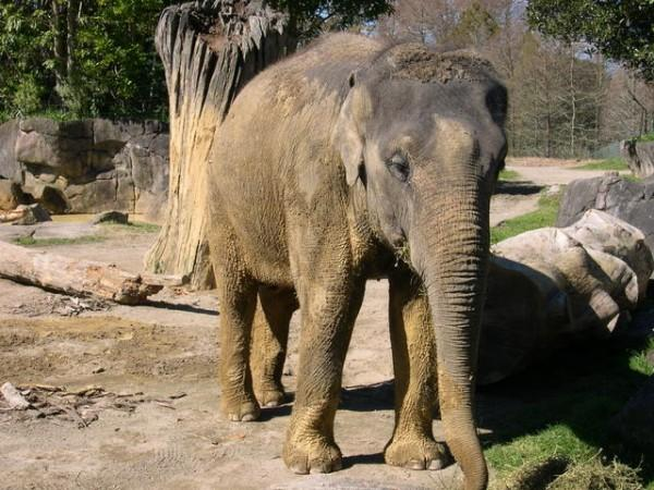 elephant facts Facts about elephants, african elephants and asian elephantselephant anatomy, habitat, feeding, reproduction and elephant predators.