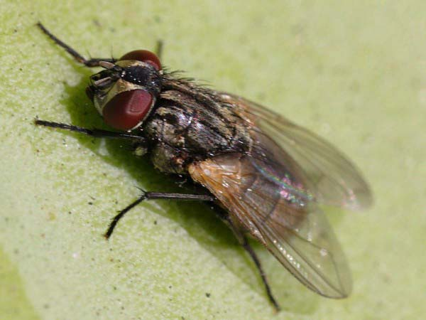 A close up photo of a common house fly.