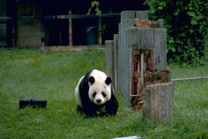 This photo shows a giant panda walking towards the camera. Native to China, these famous bears are a threatened species that survive almost exclusively on a diet of bamboo.