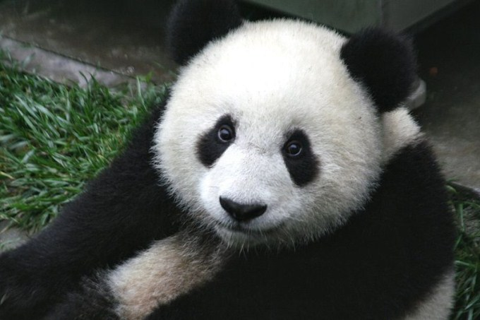 A close up photo of a very cute panda cub. Native to China, the giant panda is an endangered species.