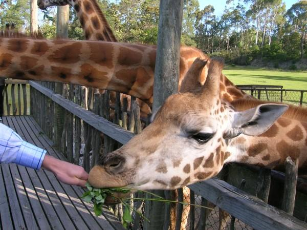 It's feeding time for the giraffes at this zoo as members of the general public feed the tall beasts a range of tasty leaves.