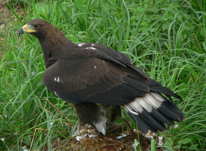 This photo shows a golden eagle standing on the ground as it surveys the area around it.