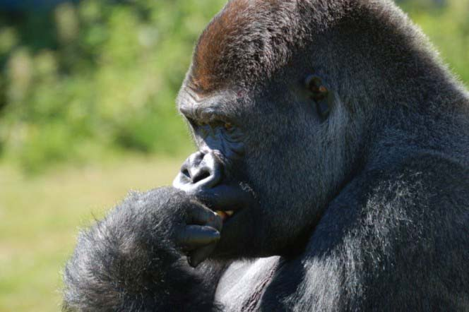 A unique photo of a male western lowland gorilla that appears to be deep in thought with its hand resting on its chin.