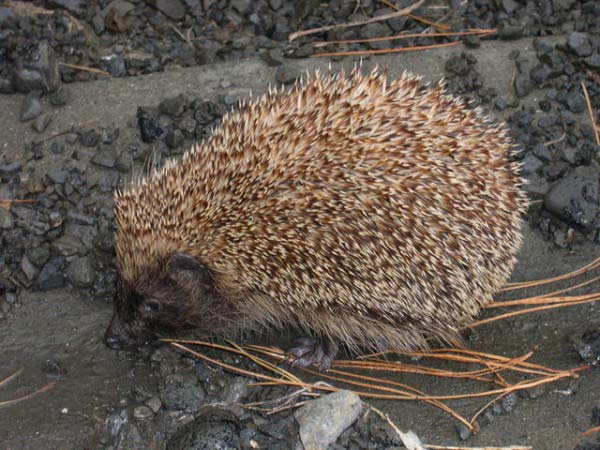 A spiky hedgehog walks slowly over stony ground in a search for food.
