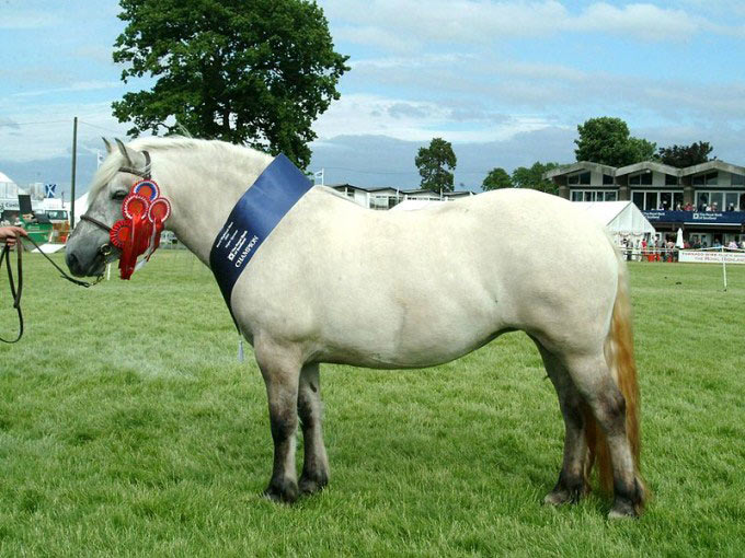 This photo shows a champion Highland Pony. Ponies are small horses that can be great for children learning to ride.