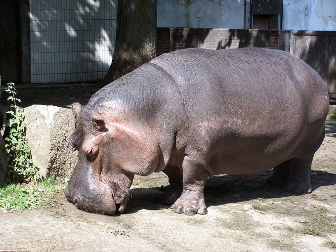 This photo shows a very large looking hippopotamus in a zoo. Found in Africa, the hippo is one of the largest land mammals in the world.
