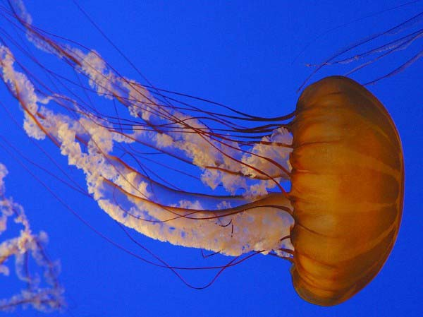 A spectacular looking jellyfish swims through the water in an aquarium.