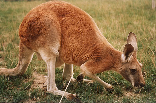 This photo shows a kangaroo with its head close to the ground as it investigates the area around it. Kangaroos are marsupial animals found commonly in Australia.