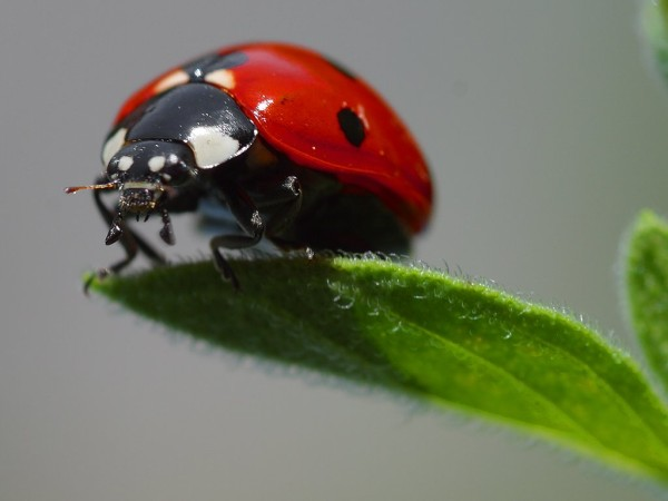 A beautifully clear close up photo of a ladybug perched precariously on the edge of a leaf.