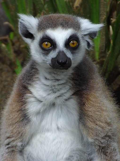 A close up photo of a lemur with distinct looking eyes. Lemurs are a type of primate found on the island of Madagascar.