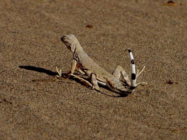 This photo shows a small lizard as it walks across sand. The underside of its tail has black and white stripes.