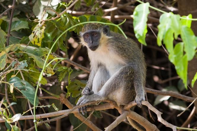 A cute small monkey sits effortlessly amongst thin tree branches.