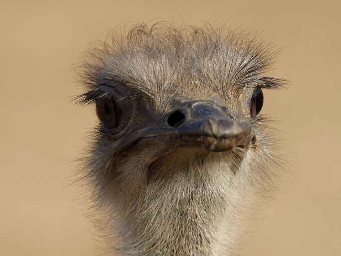 A close up photo of the wide-eyed, fluffy head of an Ostrich. The ostrich is bigger than any other bird in the world.
